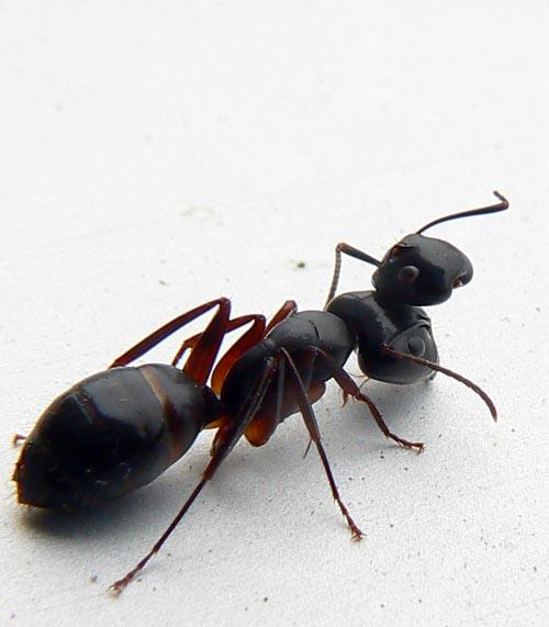 brave_ant
